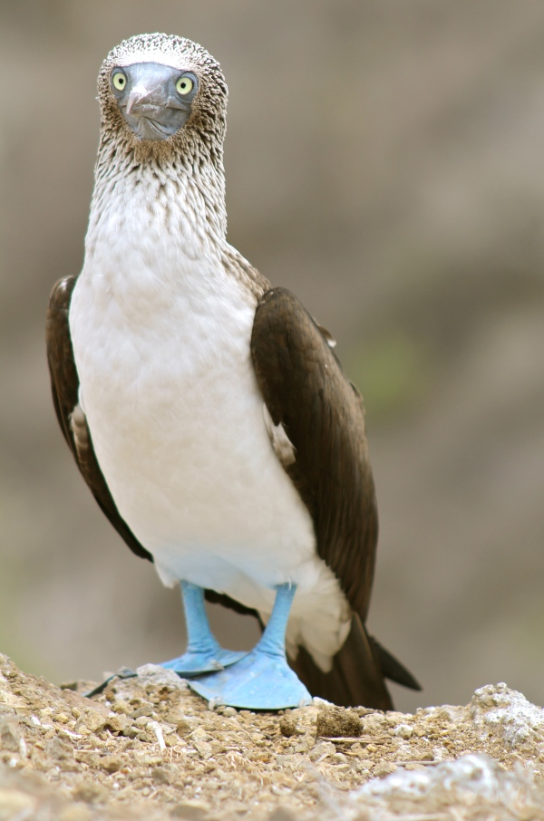 Blue-footed Boobie Male